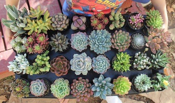 "2.5"" Assorted Succulents bulk wholesale wedding Favor gifts at the succulent source - 6"