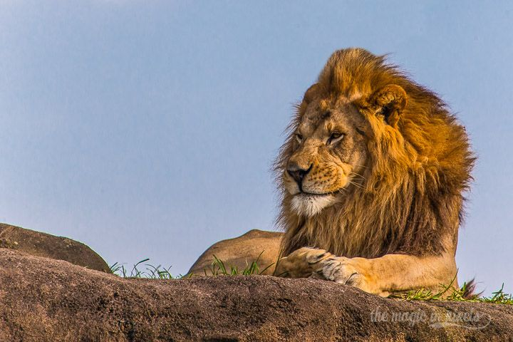 The male lion, keeping watch from the rock formation in Kilimanjaro Safaris at Walt Disney World's Animal Kingdom.