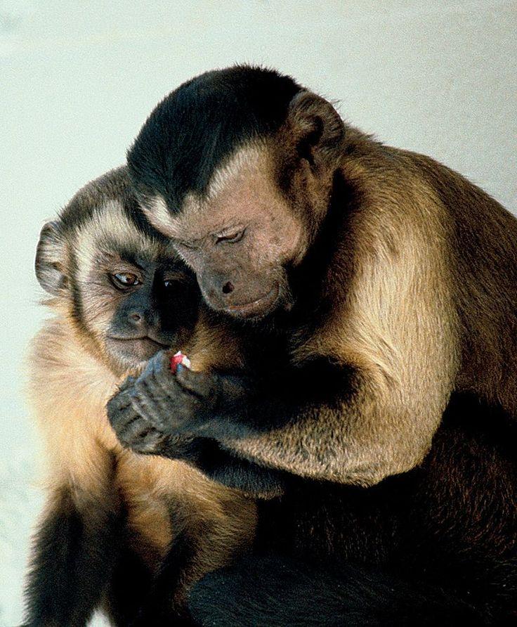"Capuchin monkeys sharing - Capuchin monkey - Wikipedia, the free encyclopedia""Capuchin monkeys sharing"" by (Photo courtesy of Frans de Waal.) - Powell K: Economy of the Mind. PLoS Biol 1/3/2003: e77. http://dx.doi.org/10.1371/journal.pbio.0000077. Licensed under CC BY 2.5 via Commons - https://commons.wikimedia.org/wiki/File:Capuchin_monkeys_sharing.jpg#/media/File:Capuchin_monkeys_sharing.jpg"