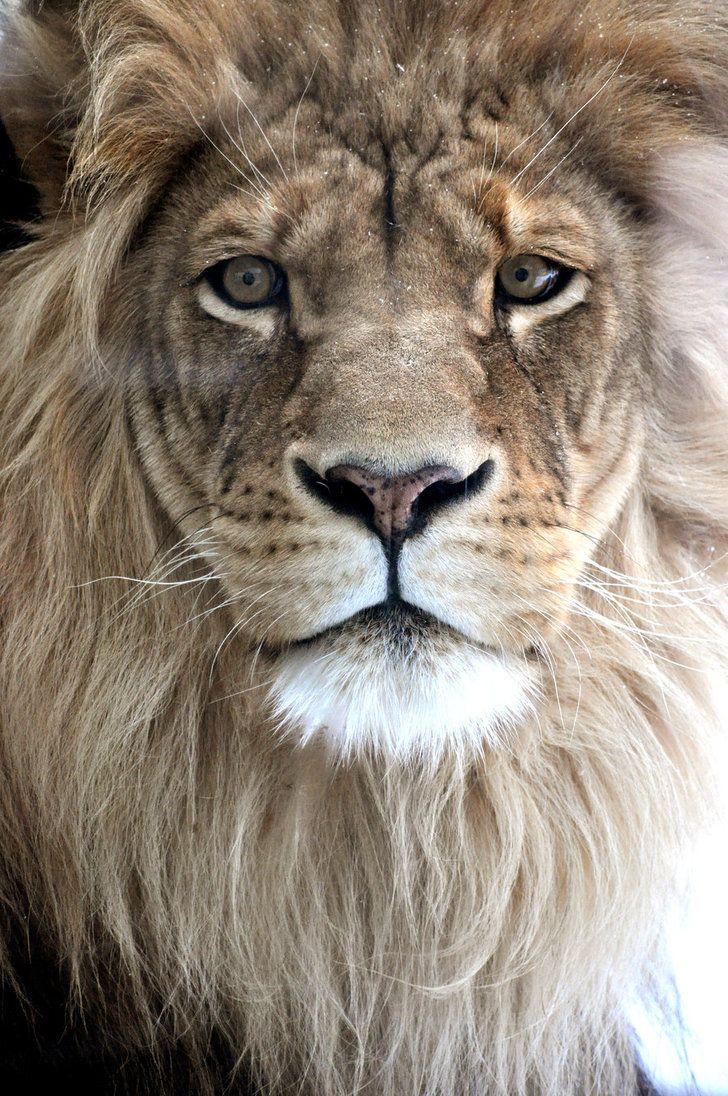 Lion: Big Cat, Pet,  King Of Beasts, Beautiful,  Panthera Leo, Lion King, Things, Bigcat, Animal