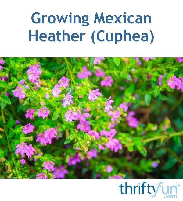 Fast Growing Mexican Heather Plants Heather Plant Purple Flowering Plants Purple Flowers Garden