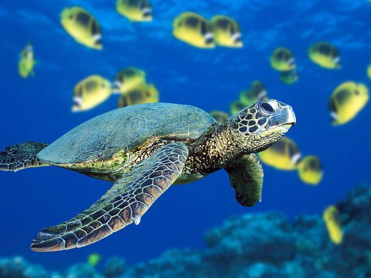 ≫∙ Sabiduría, fortaleza y perseverancia son algunas de las lecciones de vida que podemos aprender de las #tortugas marinas. Hoy, en el #WorldTurtleDay le dedicamos a ellas 21 razones por las que tú también tienes la responsabilidad de cuidarlas y amarlas.¡Conócelas! ➳ Blog post by @innatelygypsea