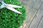 When to Prune a Boxwood Shrub | eHow