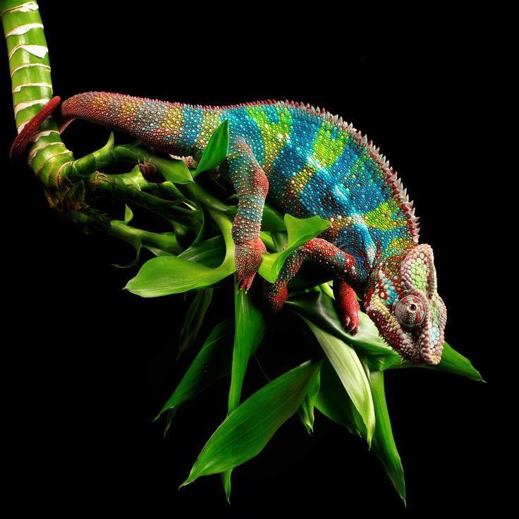 Amazing Colorful Chamilions: 17 Best Images About CHAMELIONS On Pinterest