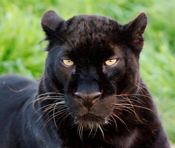 black leopard, Spirit, at Jukani Wildlife Sanctuary in Plettenberg Bay, South Africa. A place where rescued animals are helped to get a better life.