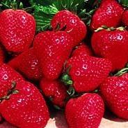 Everbearing Strawberries - Everbearing Strawberry Plants For Sale
