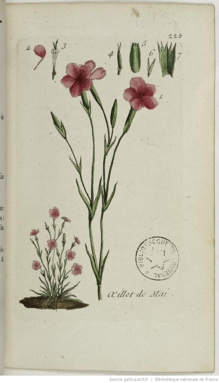 DIANTHUS - Dianthus deltoides. L'œillet de mai / L'œillet rampant