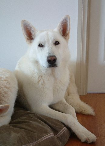 American/Canadian White Shepherd AKA White German Shepherd AKA White Swiss shepherd dog(Berger Blanc Suisse)