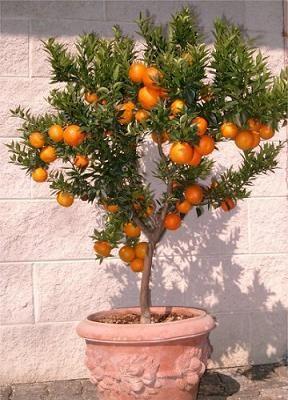 Para los amantes de las plantas que no disponen de gran jardín os contamos que existen algunos árboles frutales que los llaman enanos, lo...