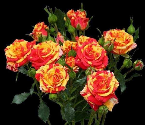 Розы спрей-4