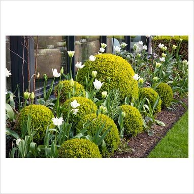 GAP Photos - Garden & Plant Picture Library - Spring border with Buxus sempervirens, Tulipa 'KLM' and Tulipa Spring Green - GAP Photos - Specialising in horticultural photography