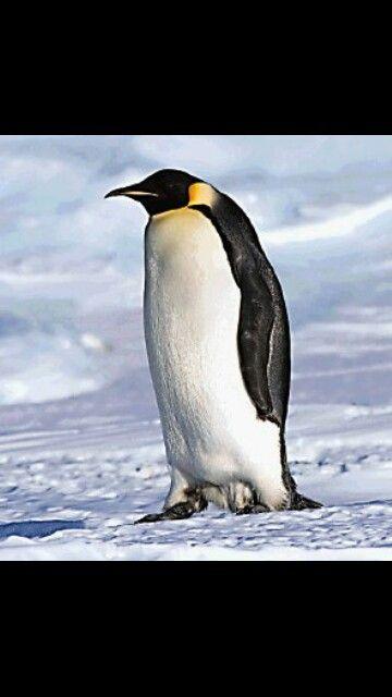 El pinguino