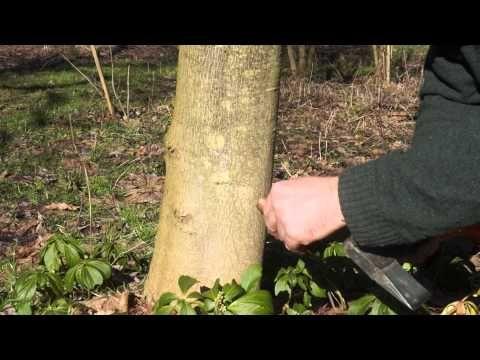 Sok brzozowy, klonowy i inne: prawie wszystko o spuszczaniu soków drzew | Łukasz Łuczaj