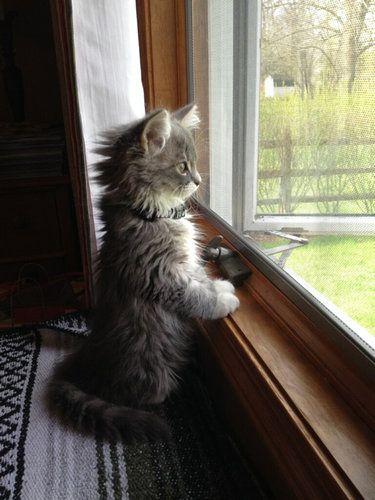 Sweet little tabby loves his window.