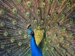 strut ...: Animal Pictures, Beauty Birds, Indian Peafowl, Quality Definitions, High Quality, Beauty Peacocks, Peacocks Color, Color Birds, Pavo Cristatus