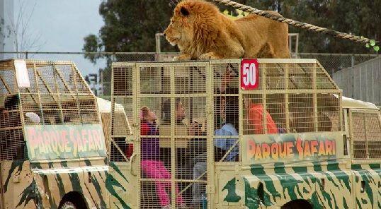 """Zoológico """"PARQUE SAFARI"""" ubicado en Rancagua, CHILE / Incluye un """"Safari de Leones"""": en un jeep protegido y reforzado con rejas, se visita una zona con 6 leones en libertad."""