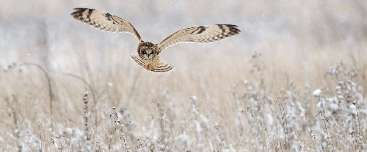 Short-eared owl hunting in snow shower