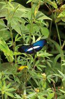 Alrededor del 40% de las especies de aves del Chocó Biogeográfico se alimenta de insectos, lo que refleja la enorme diversidad de la entomof...