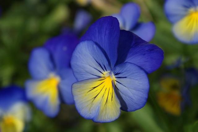 flowers - pansies and violas