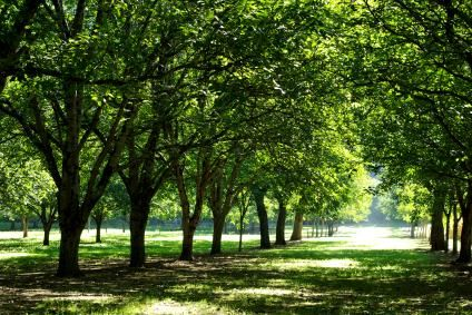 Growing Walnut Trees for Profit - plant a black walnut forest, in 30 years it can make you a millionaire