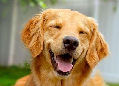 Smiling Golden Retriever Funny Dog Birthday Card ... - photo#35