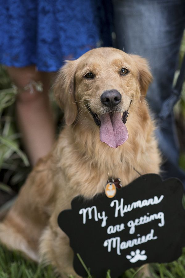 Dog holding Save the Date sign, Golden Retriever, dogs in engagement pictures, ©Corner House Photography