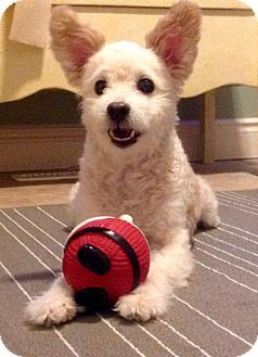 Lucknow, ON - Terrier (Unknown Type, Small)/Poodle (Miniature) Mix. Meet Skipper a Dog for Adoption.