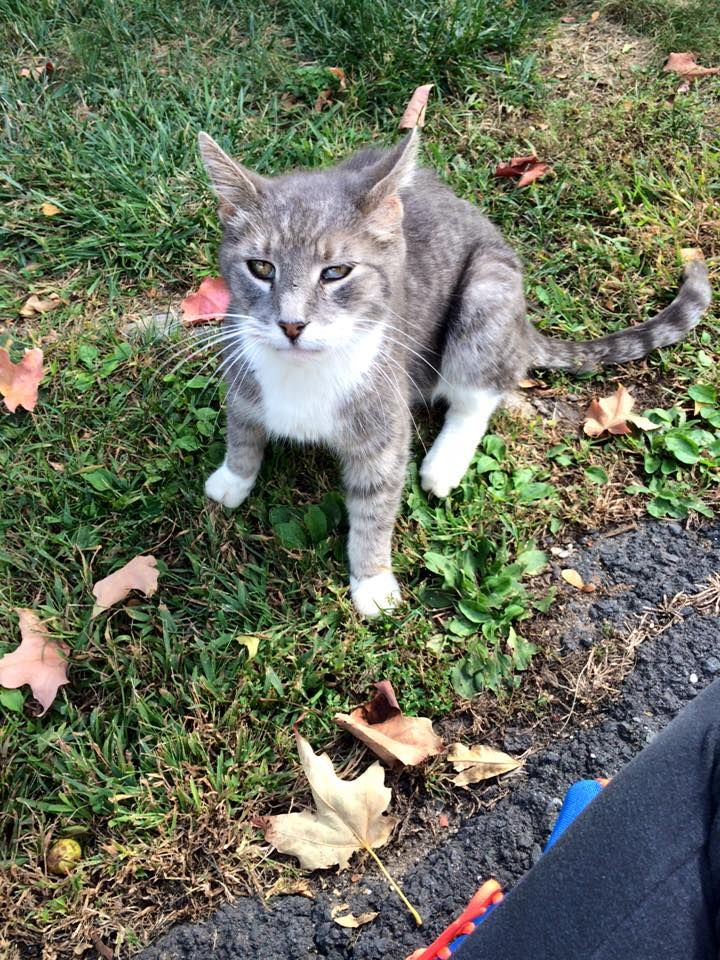 Jennifer Egwu‎CT Animal Recovery Lost Cats in CT October 2 ·   tabby grey  Is anyone missing this little guy! He is always roaming around Pebblebrook Apartments in New Britain! https://www.facebook.com/groups/1532267263661437/permalink/1675648332656662/