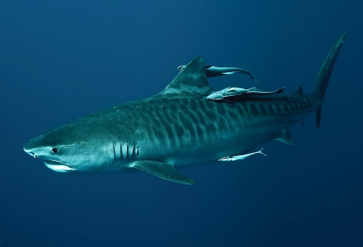 I love tigers and would like to Shark dive and see a Tiger shark up close.
