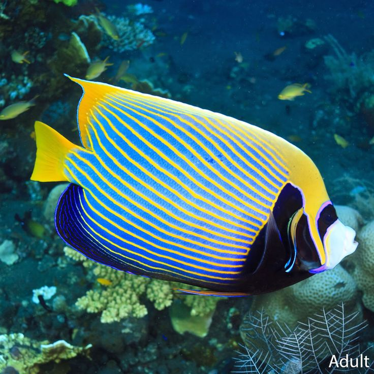 1667 best marine macro images on pinterest marine life for Saltwater fish for sale near me