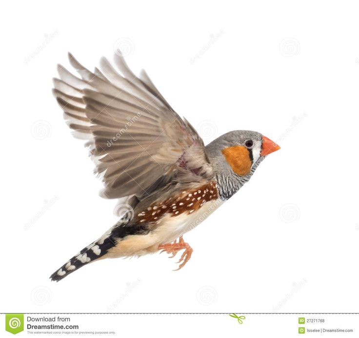 zebra finch tattoo | You need to enable Javascript.