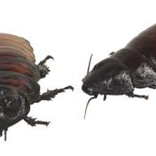 Essential Oils That Repel and Kill Fleas, Ticks, Roaches & Bed Bugs