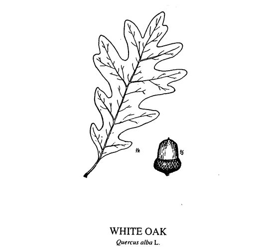 acorns to oaks  how to grow your own oak trees