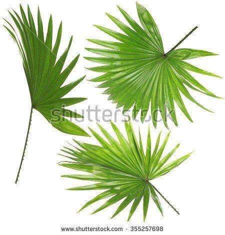 top 17 idei despre livistona rotundifolia pe pinterest dracaena marginata pachira aquatica i. Black Bedroom Furniture Sets. Home Design Ideas
