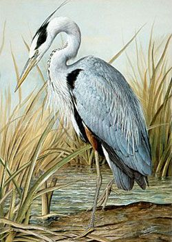 blue heron artwork | Great Blue Heron