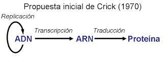 El conocido como Dogma central de la Biología Molecular fue enunciado por Francis Crick en 1958 (5 años después de que revelase la estructura de la doble hélice), y establece que la información genética fluye en la dirección ADN->ARN->proteínas
