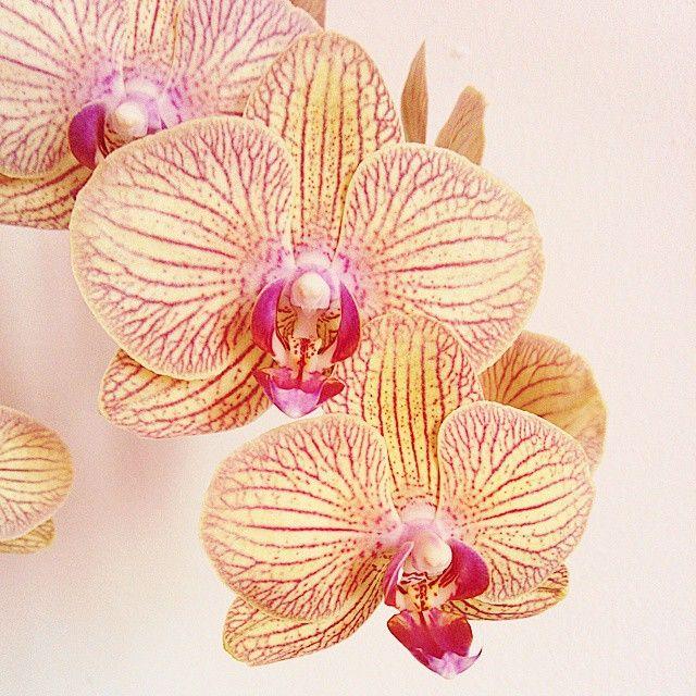 Les belles orchidées de belle maman. #fleurs #flowers #orchidée #phalaenopsis #nature #beautiful #flower