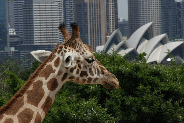 Sydney & Taronga Zoo by Flickr user b3nj1