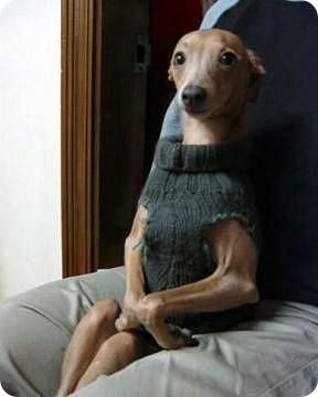 Sophisticated Lady: Sweaters, Laughing, Funny Dogs, Like A Sir, Teas, So Funny, Whippets, Animal, Italian Greyhounds