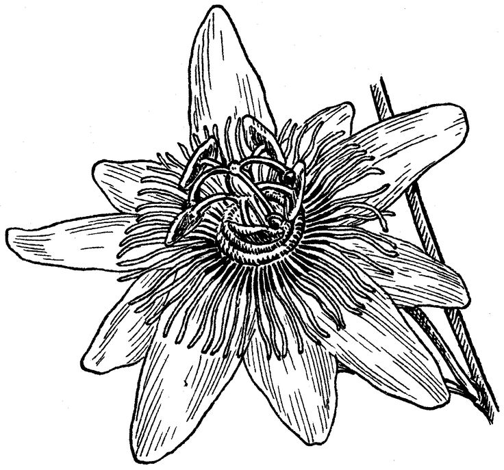 Passion Flower Line Drawing : Passion fruit flower drawing pixshark images