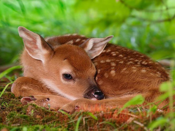 Desktop Wallpaper · Gallery · Animals · Red deer calf chital deer (spotted deer, axis deer) | Free Background 1920x1440