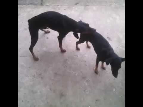 Funny dog videos with the best dog mating fails