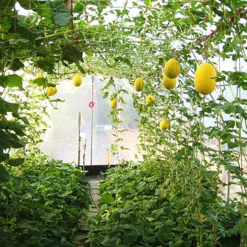 Выращивание арбузов и дынь в теплице: правила для хорошего урожая