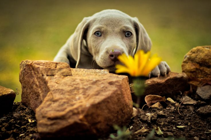 Our cute #Weimaraner #Puppy at 7 weeks old.