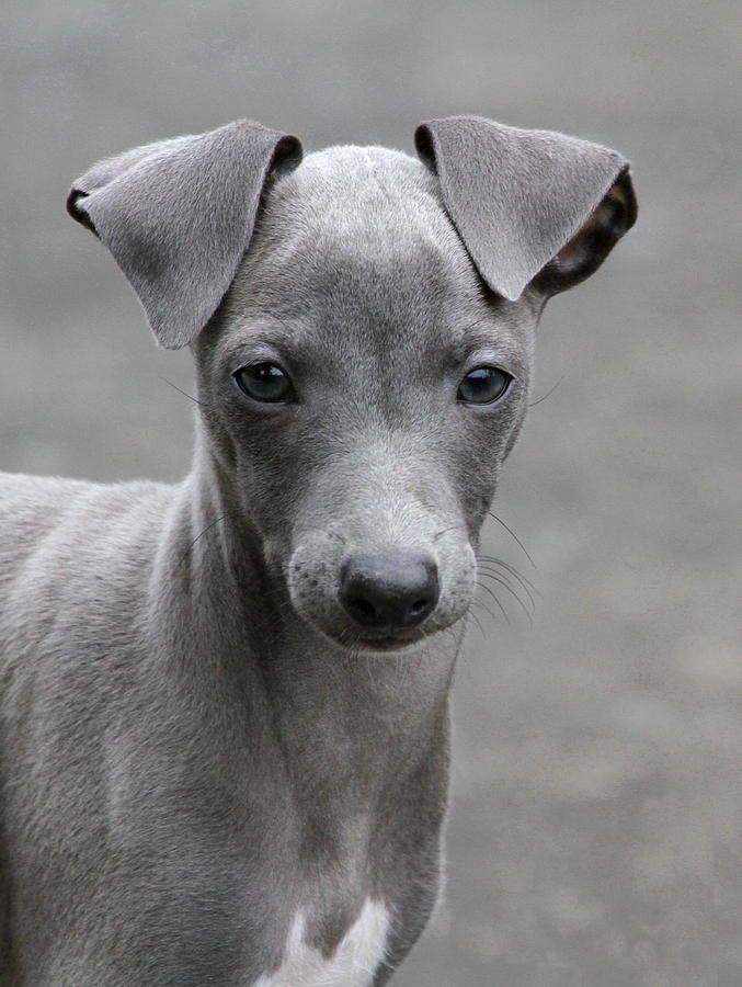 ~ Italian Greyhound Puppy ~sweet!  Her nose is halfway between cutie pie and elegant.