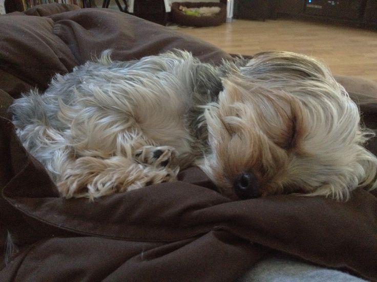 Yorkie dog Eli looks like such a sweet angel when he is sleeping!!!!  #puppy #yorkshire terrier www.fetchdogfashions.com