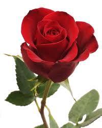 Růže velkokvětá  Latin. n. Rosa