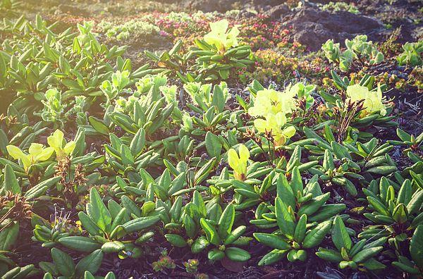 Sunny Rhododendron  Photograph by Nadezhda Tikhaia   #NadezhdaTikhaiaFineArtPhotography #ArtForHome #HomeDecor #Flowers #InteriorDesign #FineArtPrints