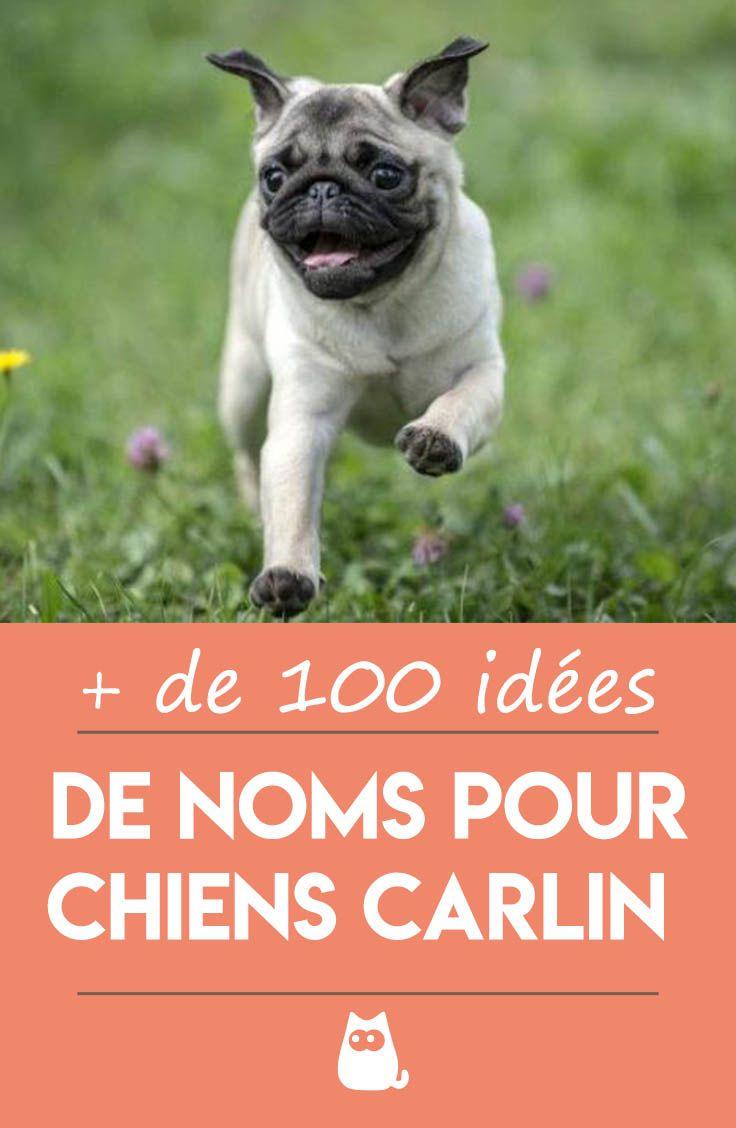 Noms Pour Chiens Carlin Males Et Femelles Plus De 100 Idees Chien Carlin Races De Chiens Chiens Droles