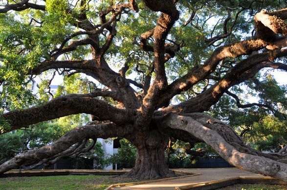Treaty Oak – Jacksonville, Florida - Atlas Obscura
